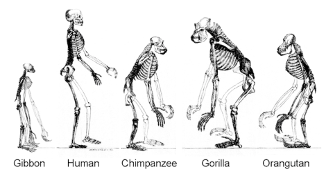 """Ape skeletons"" (Image Credit: Tim Vickers / Wikimedia Commons)"